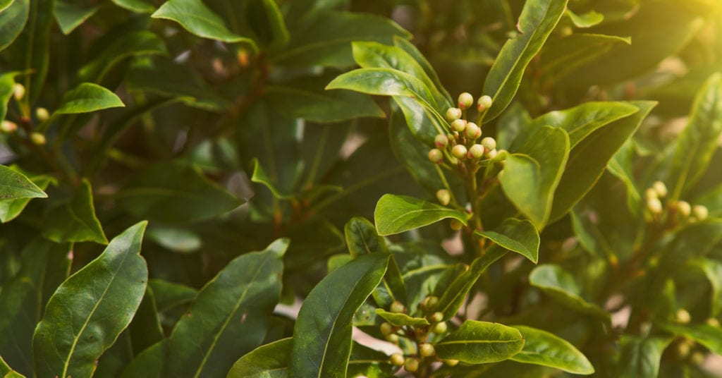 13 Common Garden Plants That Repel Pests, Bay Leaves