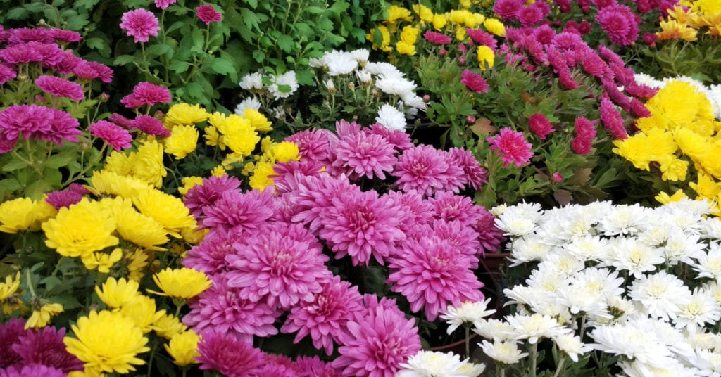 13 Common Garden Plants That Repel Pests, Chrysanthemums