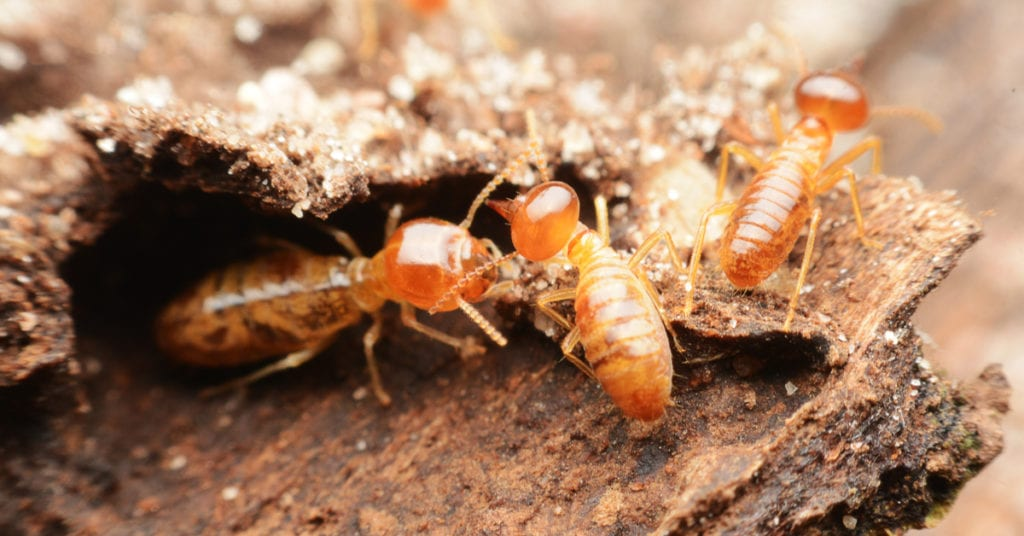 Ifference Between Termites And Woodworms
