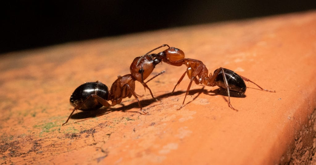 Carpenter Ants: The Do'S And Don'Ts