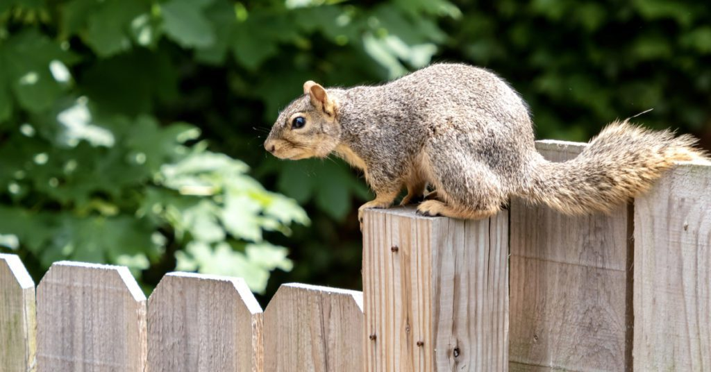 Pests And Wildlife Attacking Your Wood Fence, Squirrels