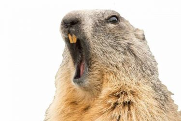 Groundhog Yawning Copy