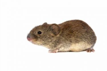 House Mouse White Bg